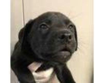 Adopt Elisabeth a Black Labrador Retriever / Shepherd (Unknown Type) / Mixed dog