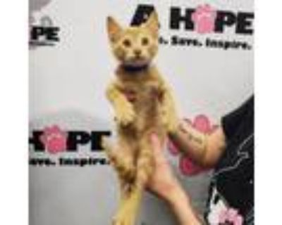 Adopt Two Cents a American Shorthair, Domestic Short Hair