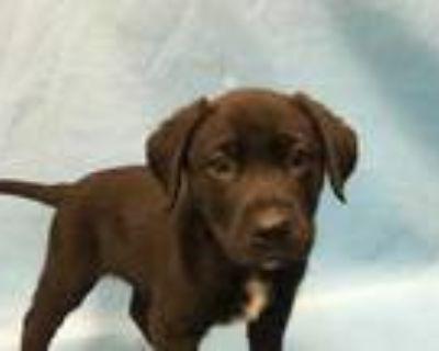 Adopt Irish a Black Labrador Retriever / Mixed dog in Woodbury, MN (31623412)