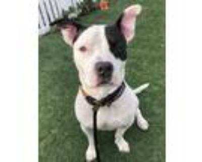 Adopt Petey a White American Pit Bull Terrier / Mixed dog in South Abington