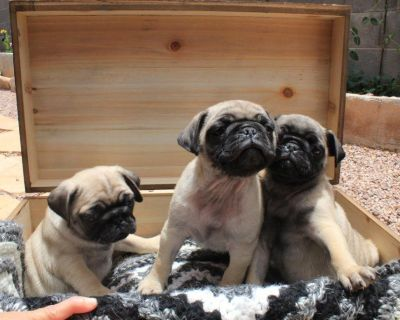 2 females and 1 male pug puppies for sale