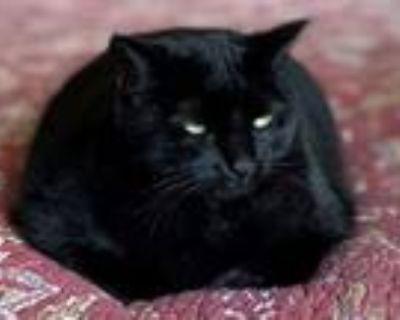 Adopt Presley a All Black Domestic Shorthair (short coat) cat in Friendswood