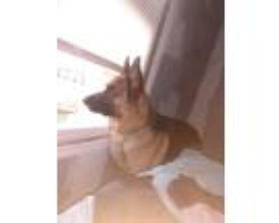 Adopt Conan a Red/Golden/Orange/Chestnut - with Black German Shepherd Dog /