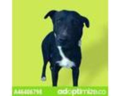 Adopt Gatsby a Black Labrador Retriever / Mixed dog in El Paso, TX (31611431)