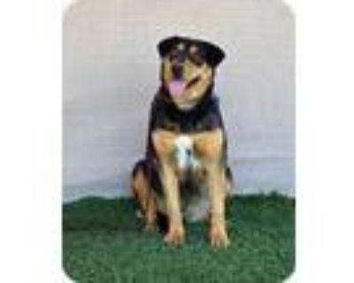 Adopt Tasha - LA a Shepherd, Labrador Retriever