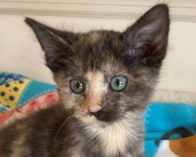 Miss Scarlett - Domestic Shorthair - Kitten Female
