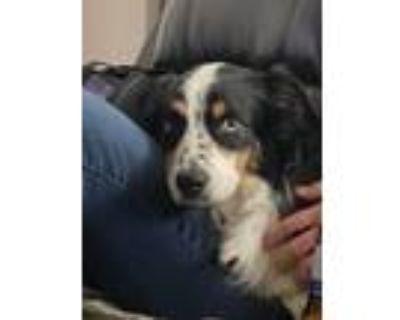 Adopt Mia a Black - with White Australian Shepherd dog in Colorado Springs