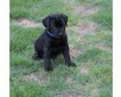 Adopt Arrow a Black Labrador Retriever / Mixed dog in Cumming, GA (31618185)