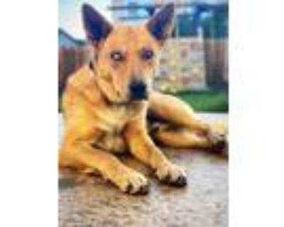 Adopt Roy a Tan/Yellow/Fawn Blue Heeler / Husky dog in Colorado Springs