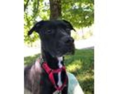 Adopt ASH a American Staffordshire Terrier, Black Labrador Retriever