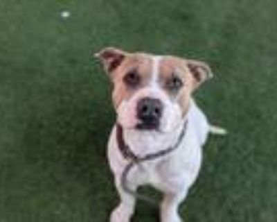 Adopt Cliff - Phoenix area (COURTESY POST) a Staffordshire Bull Terrier