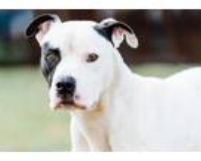 Adopt Boston a White American Pit Bull Terrier / Mixed dog in Fort Worth