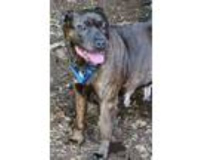 Adopt Justice a Brindle American Pit Bull Terrier / Mixed dog in Washington