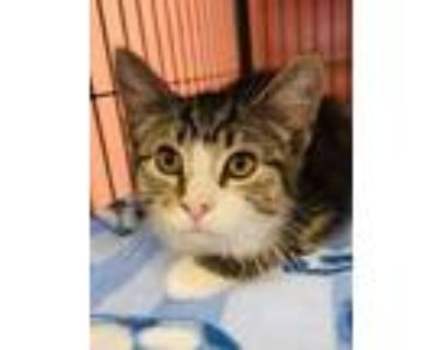 Adopt Cosmic Brownie a Brown or Chocolate Domestic Shorthair / Domestic