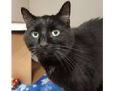 Sultan, Domestic Shorthair For Adoption In Des Moines, Iowa