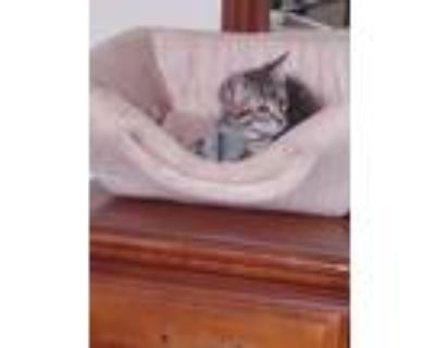 Adopt Winsley a Brown Tabby Domestic Shorthair / Mixed cat in Albuquerque