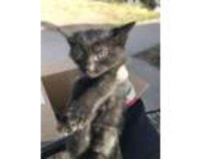 Adopt 47790583 a Domestic Short Hair