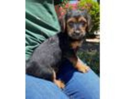 Adopt Gumbo a Black - with Tan, Yellow or Fawn Terrier (Unknown Type