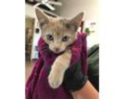 Adopt Honey a Domestic Shorthair / Mixed (short coat) cat in Chico