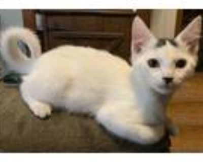 Adopt Viking & Vixen a White (Mostly) Domestic Shorthair (short coat) cat in