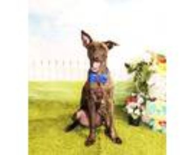 Adopt Holt a Brindle Shepherd (Unknown Type) / Mixed dog in Castro Valley