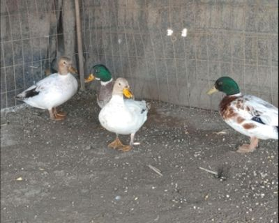 Snowy call ducks