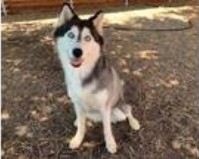 Adopt LUMI a Black - with White Husky / Mixed dog in Plano, TX (28602192)