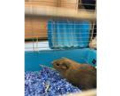 Adopt TIMOTHY a Guinea Pig