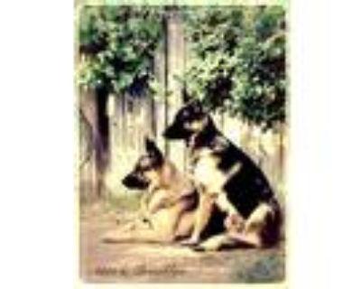 Adopt Akia a Tan/Yellow/Fawn - with Black German Shepherd Dog / Mixed dog in