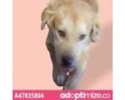 Adopt 47835804 a Tan/Yellow/Fawn Golden Retriever / Mixed dog in El Paso