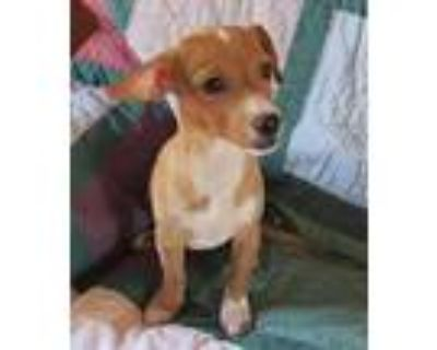 Romano- Of The Coffee Pups, Dachshund For Adoption In Apple Valley, California