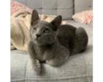 Adopt Fruit Roll-up a Domestic Short Hair