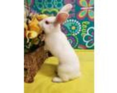 Adopt Isabella a White American / Other/Unknown / Mixed rabbit in Eugene