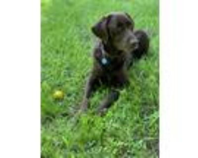 Adopt Landon a Brown/Chocolate Labrador Retriever / Mixed dog in Berkeley