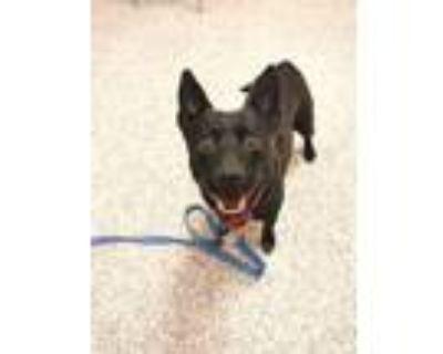 Adopt Anya a Australian Cattle Dog / Blue Heeler, Terrier