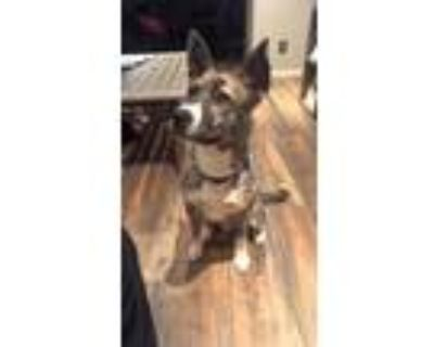 Adopt Cooper a Brindle Husky / American Pit Bull Terrier / Mixed dog in