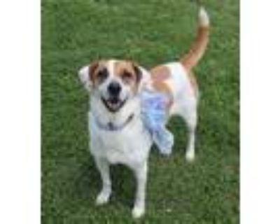 Adopt Star a Pointer / Hound (Unknown Type) / Mixed dog in Boston, KY (24493256)