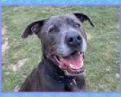 Adopt STORM a Pit Bull Terrier, Weimaraner