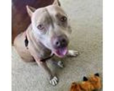 Adopt Pink a Pit Bull Terrier