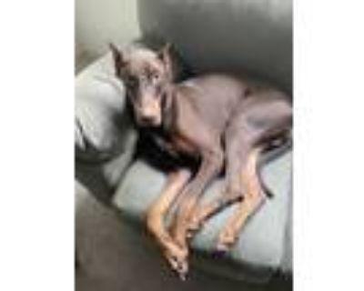 Adopt Russ a Brown/Chocolate Doberman Pinscher / Mixed dog in Brookhaven