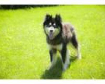 Adopt Riven a Siberian Husky