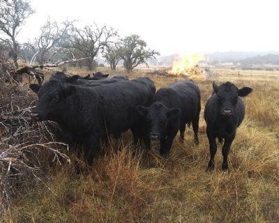 Black Angus Bulls/14months old