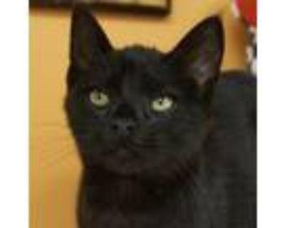 Adopt Barney -$50 a American Shorthair, Domestic Short Hair