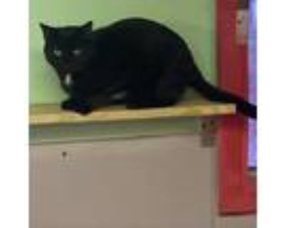 Adopt Roy a All Black Domestic Shorthair / Mixed cat in Winchester