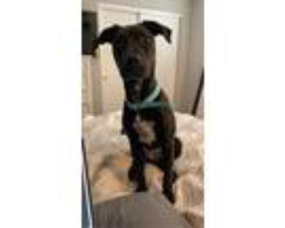 Adopt Harley a Black Labrador Retriever / Mixed dog in Queen Creek