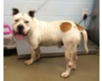 Adopt Clancy a Staffordshire Bull Terrier