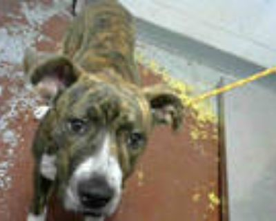 Adopt MUFFIN a Brindle - with White American Pit Bull Terrier / Mixed dog in