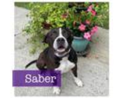 Adopt Saber a Boxer, American Staffordshire Terrier
