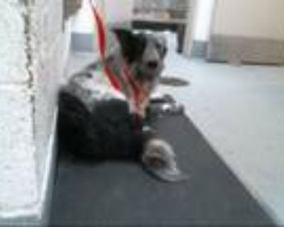 Adopt TOOTIE a Border Collie, Mixed Breed