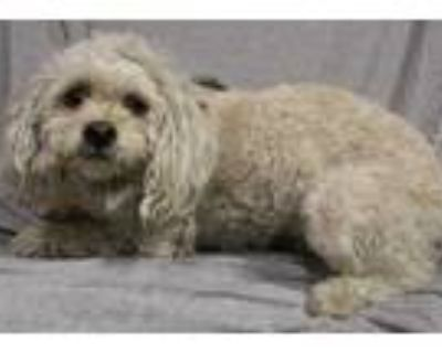 Adopt a White Poodle (Miniature) / Mixed dog in Modesto, CA (31604296)
